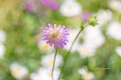 Summer (nemi1968) Tags: canon canon5dmarkiii ef100mmf28lmacroisusm july markiii oslo bokeh closeup flower flowers macro summer