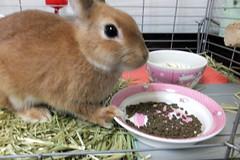 Ichigo san 236 ICHIGO san  (mensore) Tags: family pet brown cute rabbit bunny dwarf netherland ichigo   netherlanddwarf