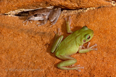Two Kimberley Endemics in situ. Chattering Rock Frog (Litoria staccato) on top and a Cave Tree Frog (Litoria cavernicola) on the bottom. (Brendan Schembri) Tags: litoria staccato cavernicola tree frog cavern cave chattering rock amphibian australia kimberley brendanschembri wildlife
