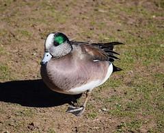 American Wigeon (Craigs Travels) Tags: bird water birds duck birding widgeon americanwigeon wigeon anasamericana baldpate americanwidgeon dabblingduck