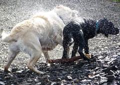 Shake it off (Product of Newfoundland) Tags: labradorretriever labrador labs dogs cottage cabin newfoundland canada