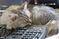 Nice Place for a Nap (Vasquezz) Tags: katze cat sibirisch sibirische siberian waldkatze forestcat   siberiancat sibirischekatze fussel  kittysuperstar coth sunrays5 bestofcats catmoments vg~catsgallery infinitexposure coth5 hellopussycat