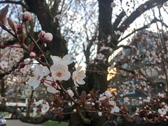 plum blossoms (dolanh) Tags: plumblossoms mttaborneighborhood plumtree