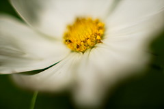 White Daisy 4 Macro f1.2 (dennisgg2002) Tags: towerhillbotanicalgardenboylston massachusetts flowers vintage lens wide open