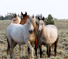 Luna's family (prairiegirrl) Tags: mustangs wildhorses wildlife greenmountainhma wyoming