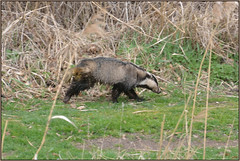 Badger On The Run (image 2 of 2) (Full Moon Images) Tags: nature animal mammal wildlife bcn reserve running national badger trust daytime fen cambridgeshire woodwalton nnr greatfen greatfenproject