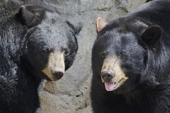 bear faces (ucumari photography) Tags: bear nova animal mammal zoo oso nc north luna carolina april ursusamericanus 2015 americanblackbear specanimal ucumariphotography dsc8980