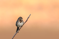 Songster (jmishefske) Tags: park nature wisconsin franklin nikon song center sparrow milwaukee april wehr 2015 whitnall halescorners d800e