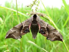Smerinthus ocellata (Male) (Lepsibu) Tags: sphingidae