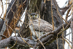 Female Great Horned Owl not happy with the rain