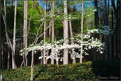 dogwood time (ChristianRock) Tags: nature garden georgia 50mm pentax manual manualfocus 50mmf14 rikenon ricoh50mmf14 kmount rikenon50mmf14 k20d pentaxk20d rikenonxr50mmf14