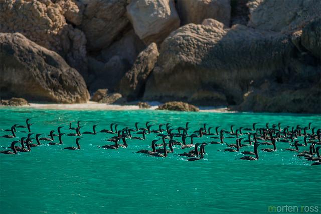 Socotra cormorant (Phalacrocorax nigrogularis)