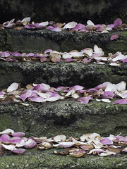 Petal staircase (Rod Raglin) Tags: pink flowers white canada flesh vancouver garden spring kensington lush stonestaircase decayingbeauty fallenrhododendronpetals