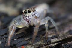 Curious Jumper (#1) (Doundounba) Tags: macro spider montral pentax qubec jumpingspider araigne k3 salticidae raynox hentzia salticide msn202 araignesauteuse vivitarseries1105mmf25macro parcnatureduboisdeliesse