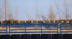 Symmetry (rkramer62) Tags: gulls hollandmichigan hollandstatepark rkramer62 hollandchannel