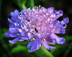 Scabious - ''Butterfly Blue'' (littlestschnauzer) Tags: uk flowers blue summer england plants plant macro nature butterfly garden petals spring nikon pretty yorkshire natur butterflies lilac stamen detailed scabious attracts d5000