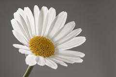 120 of 365 - Daisy Daisy (Explored) (g3az66) Tags: flower nikon daisy highkey 365 sigma105 project365 365challenge yongnuo nikond610 highkeydaisy