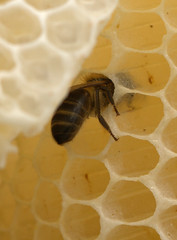 Cell mate (peter_evans45) Tags: honey wax honeycomb honeybee hive comb colony