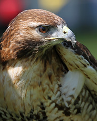 Red Tailed Hawk (Buggers1962) Tags: portrait bird nature face animal closeup canon eyes close bokeh hawk feathers raptor colchester birdsofprey birdofprey redtailedhawk autofocus fantasticnature avianexcellence colchestercastlepark simplysuperb itsazoooutthere canon7d thewonderfulworldofbirds faunayfloradelmundo birdperfect highqualityanimals infinitexposure