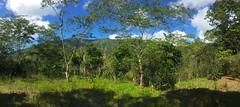 Cafetales en Cordillera Central (Dax M. Roman E.) Tags: cafe republicadominicana lasal cafetal cordilleracentral reservacientificaebanoverde daxroman