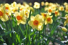 shine! (christiaan_25) Tags: flowers light orange sun green nature sunshine yellow season petals spring blossoms explore blooms daffodils inbloom may52015