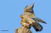 red necked falcon enjoying breakfast (TARIQ HAMEED SULEMANI) Tags: travel tourism nature birds trekking canon wildlife tariq concordians tariqhameedsulemani jahanian