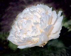 White Peonies (I) (gtncats) Tags: white flower macro nature outside outdoors peony bloom peonies topaz restyle ef100mmmacro topazlab canon70d photographyforrecreation topazrestyle infinitexposure