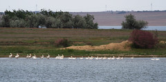 Dalmatian and Great While Pelicans (Wild Chroma) Tags: birds pelican kazakhstan pelecanusonocrotalus pelecanus crispus pelecanuscrispus naturetrek onocrotalus nonpasserines