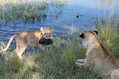 Mosi-oa-Tunya National Park, Zambia (MJR96) Tags: wild water grass cat big feline lion zambia carnivore livingstone afica