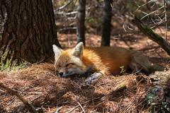 Tired mom (JD~PHOTOGRAPHY) Tags: nature animal animals mammal wildlife mother fox canadianwildlife femalefox foxmom