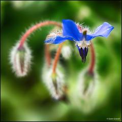 (2291) Nature (QuimG) Tags: naturaleza flower macro nature flor natura panasonic specialtouch quimg quimgranell joaquimgranell afcastell obresdart