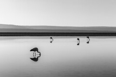 Laguna Chaxa (vglima1975) Tags: blackandwhite nature wildlife flamingo sanpedrodeatacama atacamadesert lagunachaxa