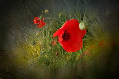 Papaveri rossi.....livornesi (Zz manipulation) Tags: art natura erba fiori piante rosso papaveri ambrosioni zzmanipulation