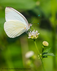 B36C4887 (WolfeMcKeel) Tags: vacation white lake butterfly keys spring key florida wildlife butterflies national crocodile largo refuge nwr 2016 floridakeys2016vacationspring