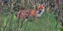 Red Fox - Buckinghamshire (Alan Woodgate) Tags: