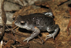 Bibron's Brood Frog (Pseudophryne bibroni) (Heleioporus) Tags: new southwest wales south frog slopes brood pseudophryne bibroni bibrons
