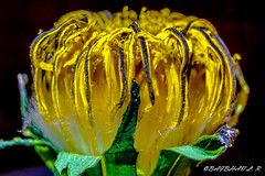 A dying yellow flower. (Nature-enthusiast) Tags: light baby plant flower macro green yellow closeup death sad sony flash tube indoor petal extension dying lowkey android 52mm lightroom a6000