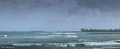 Laughing gull  (Leucophaeus atricilla) (Hernan Linetzky Mc-Manus) Tags: birds laughing gull bahamas nassau bandada