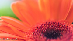 Rising sun of Spring (frederic.gombert) Tags: flowers light orange sun sunlight plant flower color green colors garden spring gerbera bunch bloom
