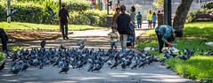 2016 - Sydney - Feeding Frenzy (Ted's photos - For Me & You) Tags: people grass birds nikon pigeons sydney australia wideangle cropped vignetting pathway ratsofthesky 2016 belmore belmorepark sydneyau tedmcgrath tedsphotos nikonfx peopleandpaths nikond750 belmoreparksydney
