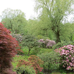 Harewood House Himalayan Garden (dramadiva1) Tags: flowers trees garden spring blossom yorkshire acer rhododendron azalea blooms himalayas harewoodhouse acers