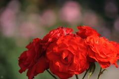 20160522-D7-DS7_2479.jpg (d3_plus) Tags: park street sky plant flower nature japan garden walking drive tokyo nikon scenery bokeh fine daily bloom   nikkor   kanagawa   dailyphoto touring     thesedays  fineday  jindaiji          d700 kanagawapref nikond700
