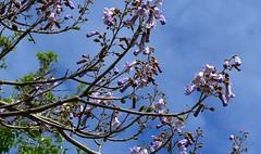 Princess Tree - Paulownia tomentosa -   P1330159 (Toby Garden) Tags: new flowers tree newjersey spring purple princess wayne trumpet arboretum jersey flowering empress laurelwood tomentosa paulowniatomentosa paulownia trumpt