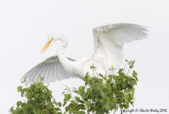 Dude Get Out of Here (wesjr50) Tags: birds canon wings iii flash 5d beamer better mk avian greategret rookery nests staugustineflorida breedingplumage wadingbirds staugustinealligatorfarm canonef500mmf40isusm