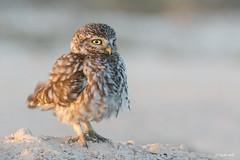 _SEN7804-E (Sento74) Tags: birds aves athenenoctua rapaces mochueloeuropeo nikond7100 tamron150600