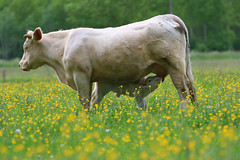 Drinking (Glassholic) Tags: flower nature countryside cow calf