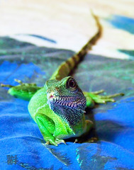 The shy one (braveis) Tags: animal reptile lizard waterdragon chinesewaterdragon