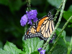 Monarch and Flowers (Toats Master) Tags: macro nature butterfly wings insects lepidoptera monarch