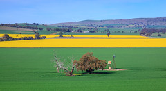 Canola Farm (**James Lee**) Tags: blue sky sunlight flower tree green nature windmill colors beauty field yellow horizontal landscape outdoors photography image outdoor farm background australia scene victoria deadtree backgrounds carola tranquil canola foreground shepparton in jameslee