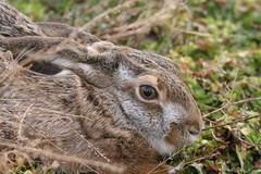 Lievre (patricegalvand) Tags: mammifere lagomorphe lievrecommun lepuseuropaeus tete grosplan gite saintmartindecrau bouchesdurhone france